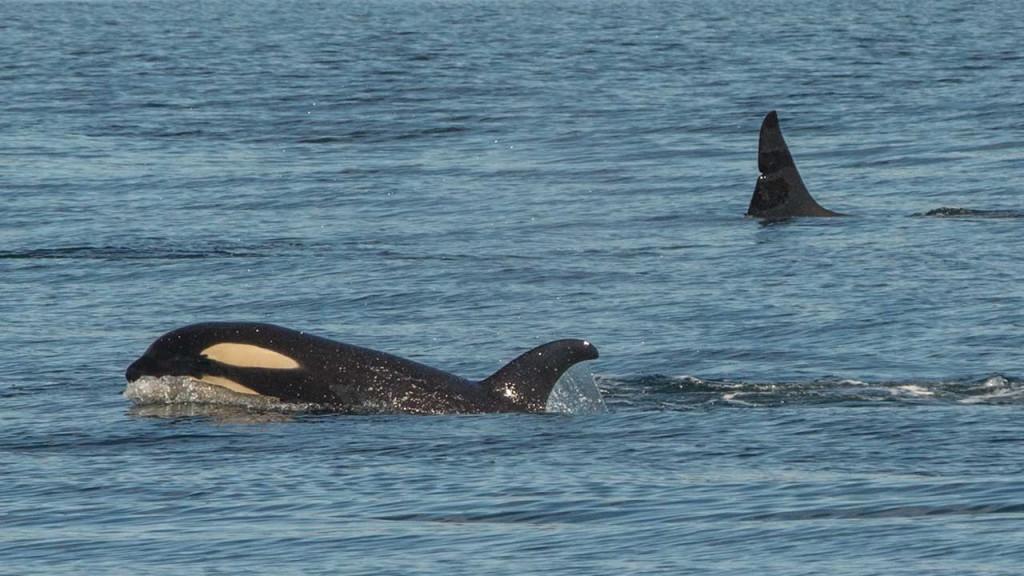 Orcas beim Spielen.